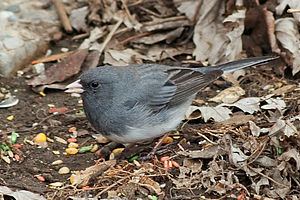 Female Dark-eyed Junco, slate-colored race (Ju...