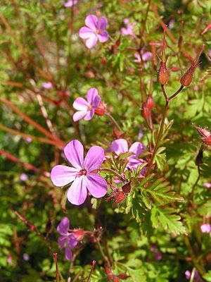 English: Herb Robert (Geranium robertianum). P...