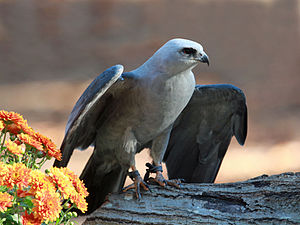 English: Mississippi Kite (Ictinia mississippi...