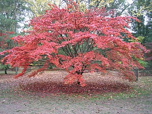 English: Another magical autumn in Acer Glade,...