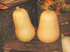 Cucurbita moschata 'Butternut'. Original descr...