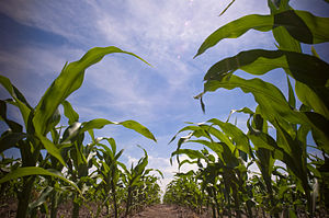 English: Maize/Corn field in South Dakota, USA