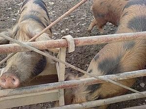 English: More pigs!
