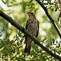 https://i1.wp.com/upload.wikimedia.org/wikipedia/commons/thumb/e/ea/Song_Thrush_%28Turdus_philomelos%29_singing_in_tree.jpg/240px-Song_Thrush_%28Turdus_philomelos%29_singing_in_tree.jpg