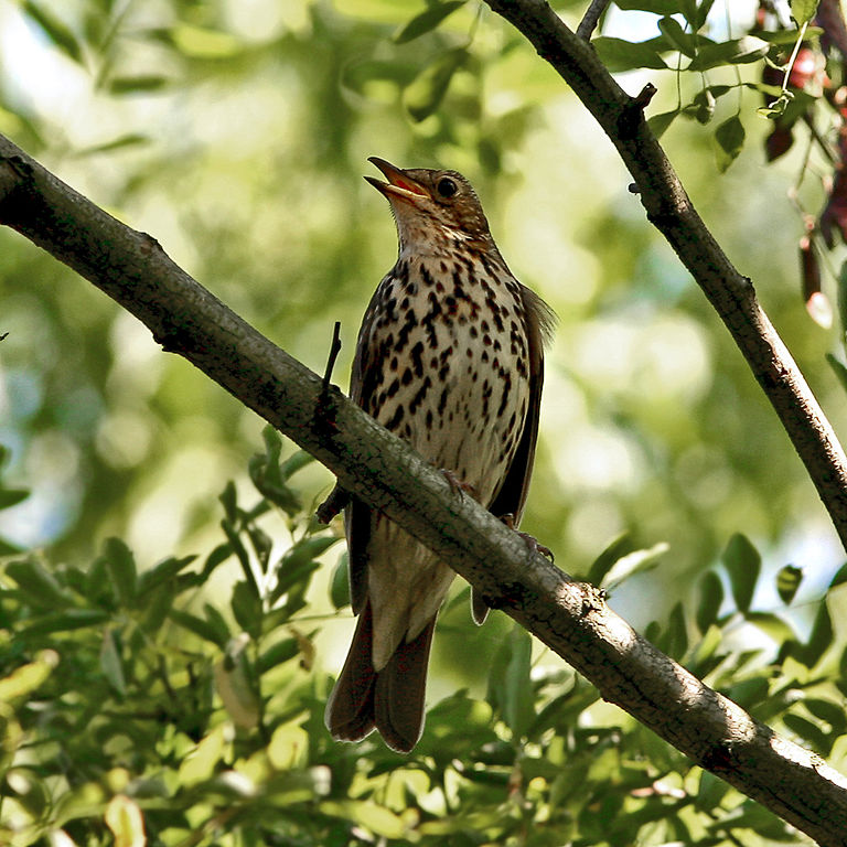Song Thrush singing a song in a tree. By Taco Meeuwsen 2006