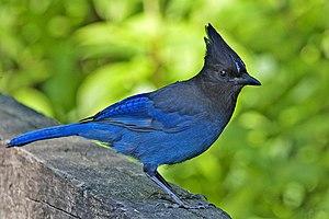 Stellers Jay, British Columbia