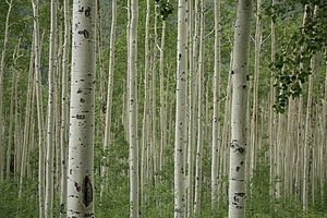 Aspen trees near Aspen, Colorado