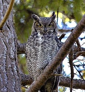 Great Horned Owl (Bubo virginianus) at Reifel ...