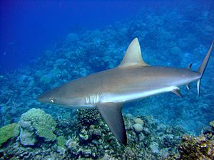 English: Grey reef shark (Carcharhinus amblyrh...