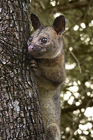 English: A male northern brushtail possum in H...