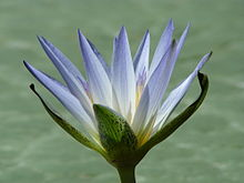 Egyptian blue lotus