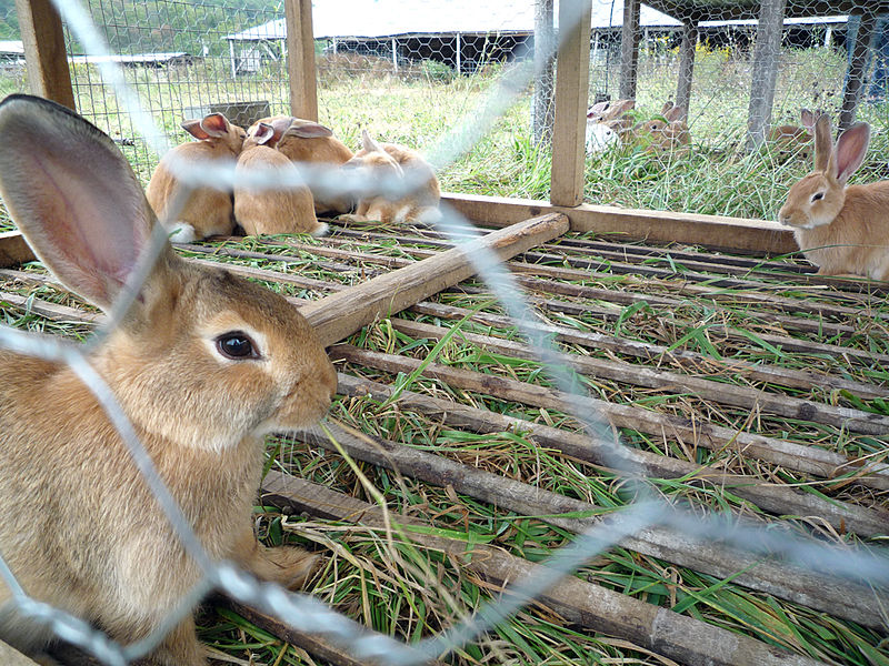 File:Rabbits at Polyface Farm.jpg