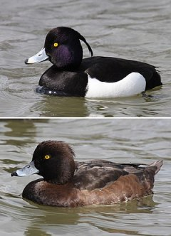 male and female Tufted Duck