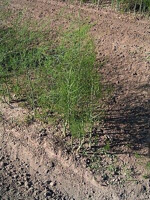 Asparagus officinalis L. plant