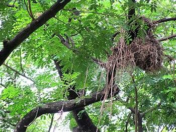 English: A bird nest in Bangladesh