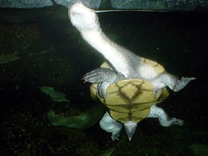 English: Roti Island Snake-necked Turtle (Chel...