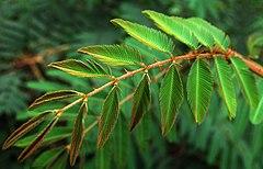 (Mimosa pudica)Daun yang perlahan menguncup karena tiupan angin
