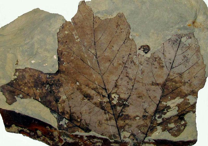 File:Fossil Platanus leaf.jpg