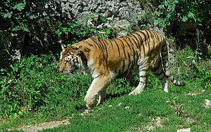 A Siberian tiger (Panthera tigris altaica) in ...
