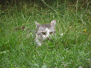 A cat lurking from the grass