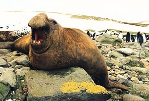 English: southern elephant-seal (Mirounga leon...
