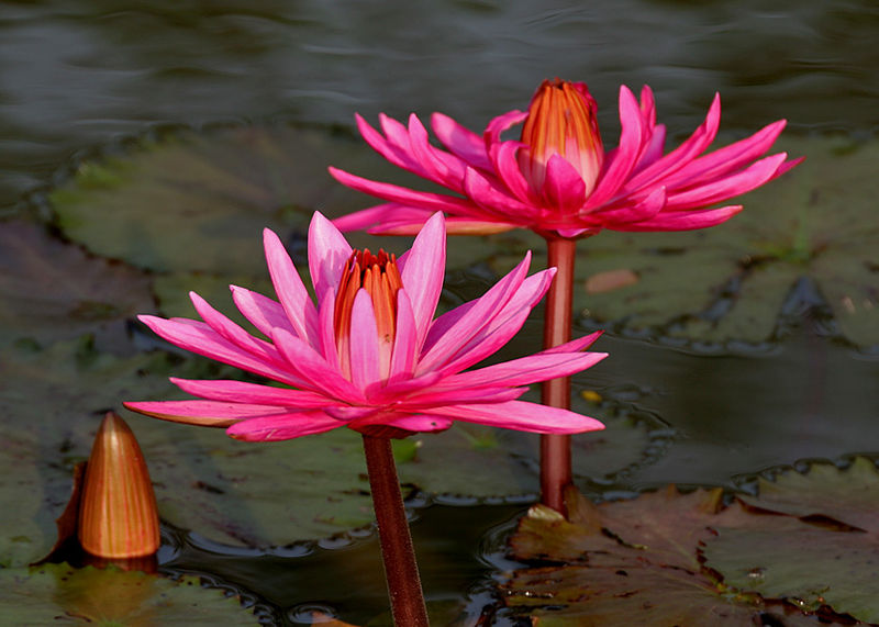 File:Nymphaea pubescens (Indian red water lily), Hyderabad, India - 20090613-02.jpg