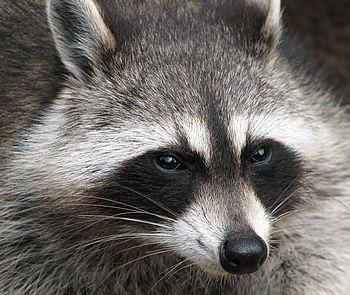 Raccoon (Procyon lotor). Français : Raton lave...