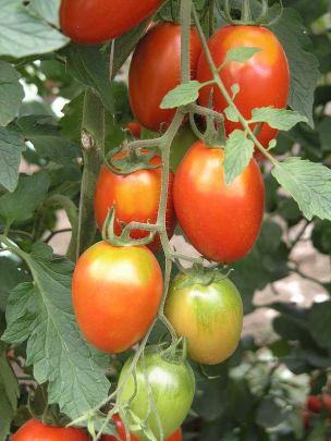 Tomate durch Hitze mit Grünkragen