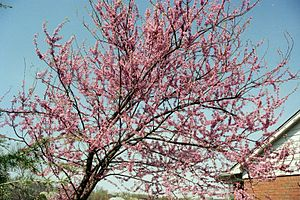 American Eastern Redbud Tree (Cercis canadensis)