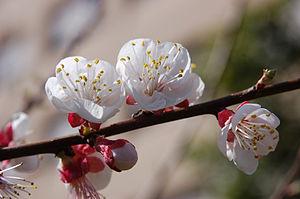 es un almendro floreciendo