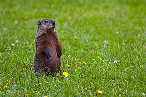 Replaces :Image:Groundhog Standing1.jpg, which...
