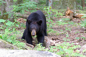 An American black bear (estimated weight of ap...