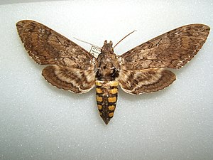 Carolina Sphinx Manduca sexta