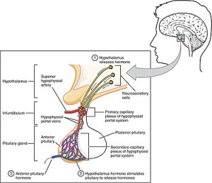 Anterior pituitary  Wikipedia