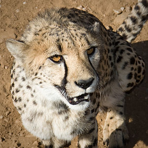 Cheetah looks at me