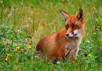 Red fox. Picture from Skandinavisk Dyrepark, D...