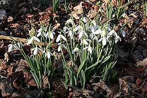 English: Snowdrops (Galanthus nivalis) Some of...