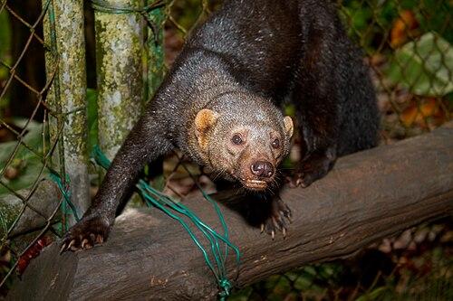 Meet the tayra. Image via Wikipedia.