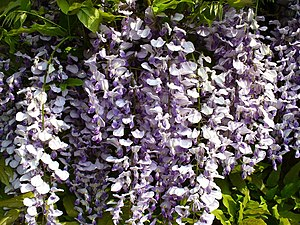Wisteria in Bloom Wisteria Sinensis