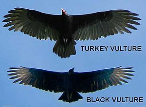 Silhouettes of a Turkey Vulture and an America...