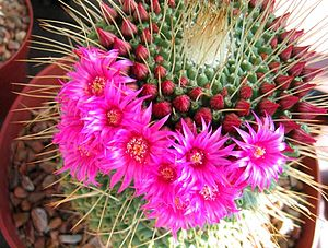 A flowering cactus at Tohono Chul Park in Tucs...
