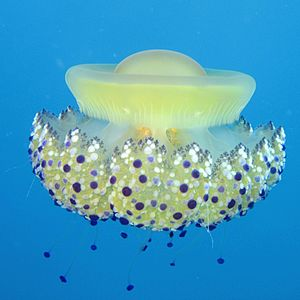 Cassiopea Jellyfish (Cotylorhiza tuberculata) ...