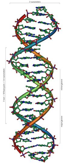 DNA çift sarmalının yapısı