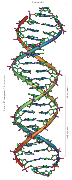 English: An overview of the structure of DNA.