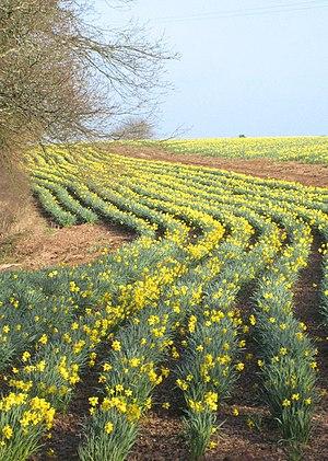 English: Daffodil field at Mawnan Smith. These...
