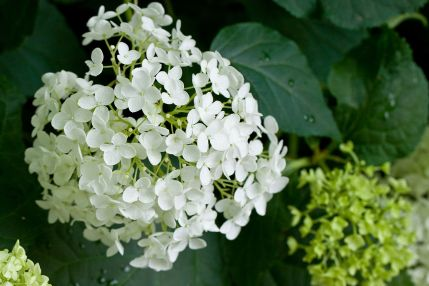 Image result for annabelle hydrangea
