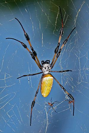 English: Golden-silk Spider (Nephila clavipes)...