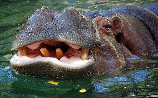 Hippo closeup