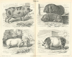 English: pigs Français : cochons English: Schw...