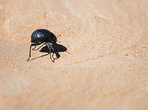 Namib desert beetle (possibly of genus Onymacr...